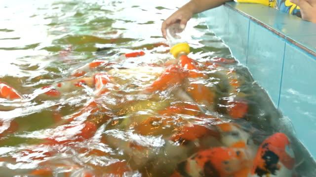Fish feeding / Fancy carp or Colorful koi carps