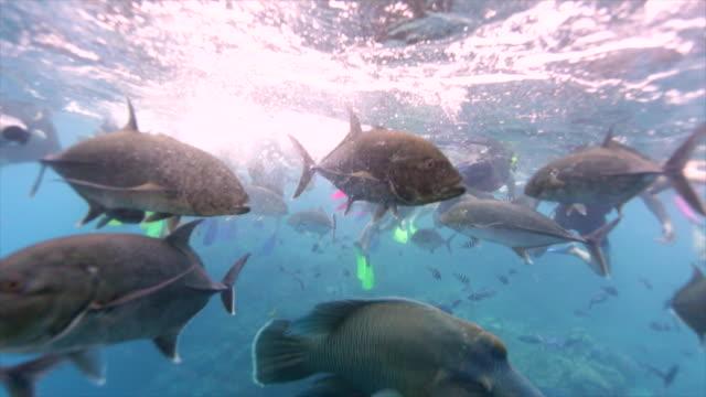 Fish feeding frenzy on Great Barrier Reef