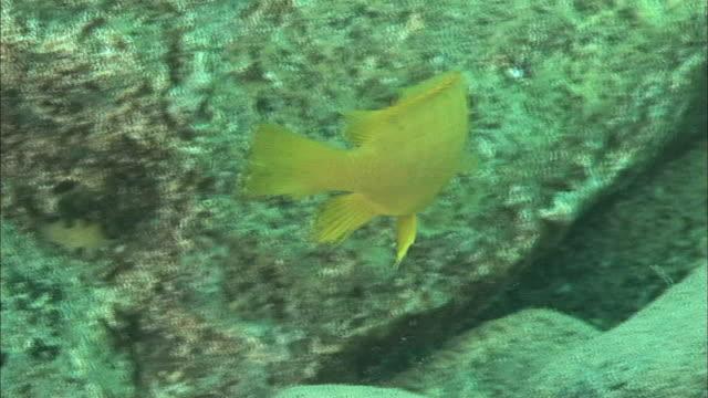 a fish feeding off a rock in lake tanganyika, africa - rückenflosse stock-videos und b-roll-filmmaterial