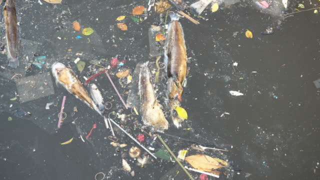 Fish float dead in a sewage canal.