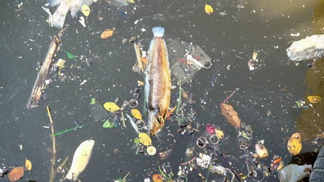 Fische schwimmen tot in einem Abwasser-Kanal.