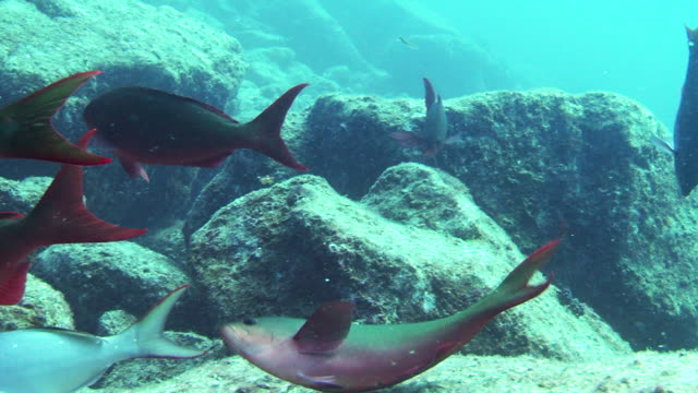 fish forage on a rocky seabed. - sea of cortez stock videos & royalty-free footage