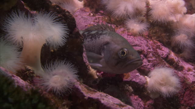 a fish hides among the corals and anemones on the pacific reef. - ranunculus stock videos & royalty-free footage