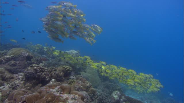 vídeos de stock e filmes b-roll de fish in lagoon, snapper shoals bigeye and bluelined, aldabra, indian ocean  - lutjanídeo