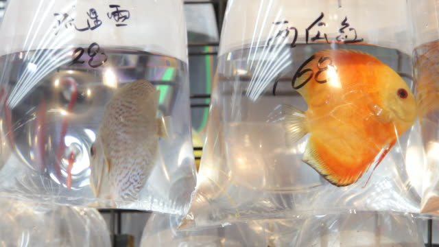 cu fish in plastic bags at market  / hong kong, china - petshop stock videos and b-roll footage