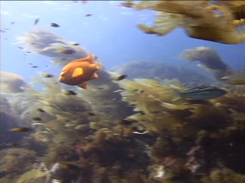 fish in south pacific kelp beds - tierisches exoskelett stock-videos und b-roll-filmmaterial