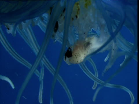 fish in tentacles of by the wind sailor, bermuda - tentacle stock videos & royalty-free footage