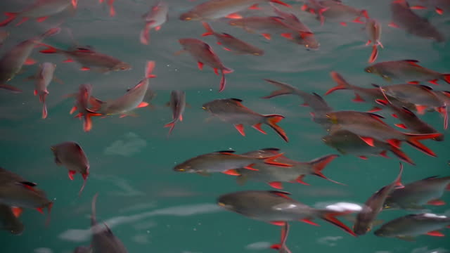fish in the lake - freshwater stock videos & royalty-free footage