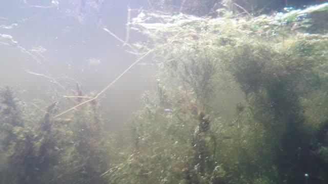 vidéos et rushes de poissons dans la rivière deviga - eau douce