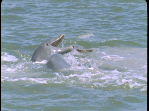 Fish jump into a pod of feeding dolphins off the coast of Florida.