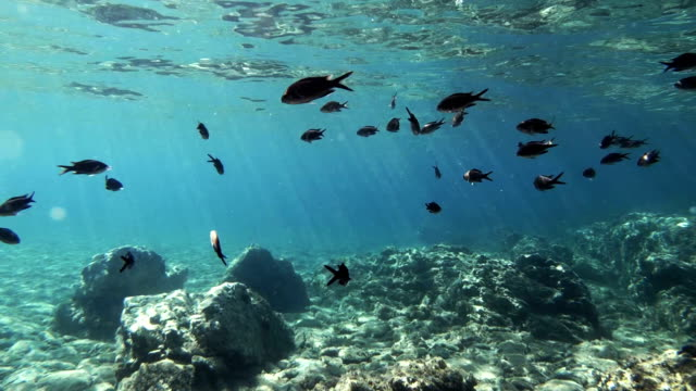 Fish of the Mediterranean Sea, Chromis