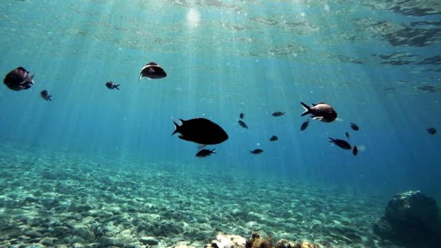 Fisch aus dem Mittelmeer, Chromis