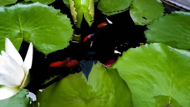 fish on lotus pond - aquatic organism stock videos & royalty-free footage