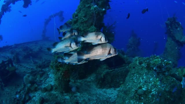 fish on nippo maru, underwater wrecks, truk lagoon, chuuk micronesia - 1944 stock videos & royalty-free footage