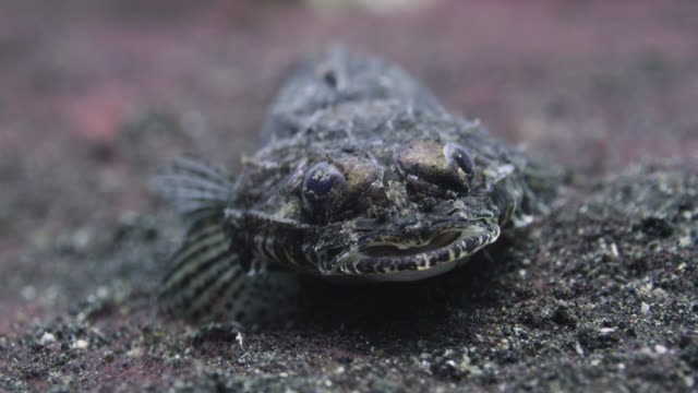 fish on sandy seabed, lembeh, indonesia - seabed stock videos & royalty-free footage
