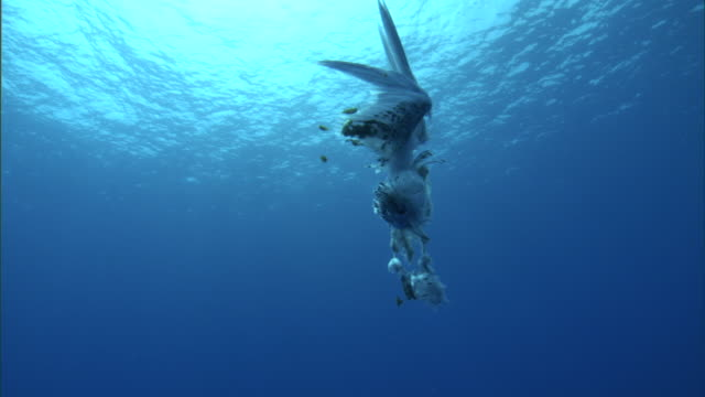 fish shelter around dead tropicbird (phaethon rubricauda) carcass, hawaii - pacific ocean stock videos & royalty-free footage