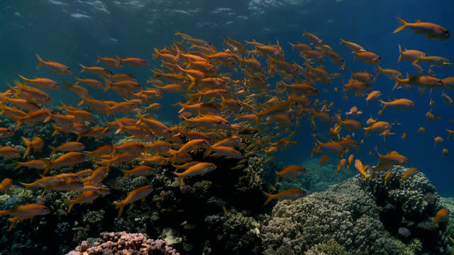 fish shoal on coral reef