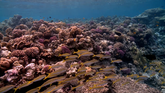 fish shoal on coral reef - goatfish stock videos & royalty-free footage