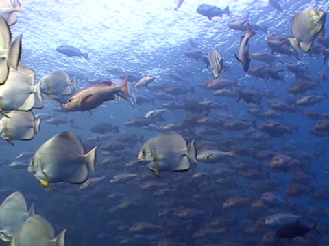 fish shoaling in open water - mittelgroße tiergruppe stock-videos und b-roll-filmmaterial