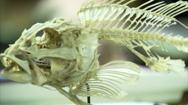 A fish skeleton features fin bones. Available in HD.