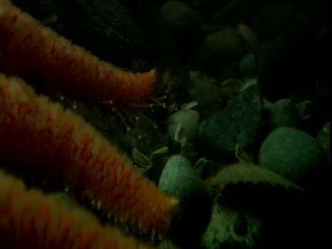 A fish skitters away from a large sea star that investigates a bed of scallops with its spidery tentacles.