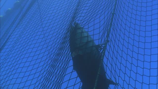 ms zi slo mo fish stuck in net / moorea, tahiti, french polynesia - netting stock videos and b-roll footage
