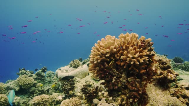 fish swarm around coral, wake island, pacific remote islands marine national monument. - coral stock videos & royalty-free footage
