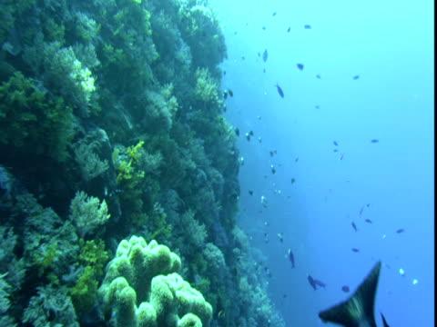 Fish swim above a coral reef near Palau.