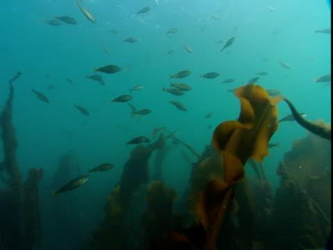 fish swim above a kelp forest. - kelp stock-videos und b-roll-filmmaterial