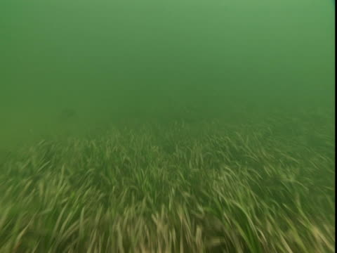 Fish swim along a weedy seabed.