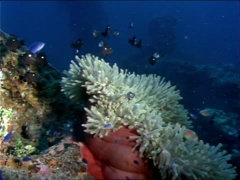 vídeos y material grabado en eventos de stock de fish swim around a sea anemone growing on a tire. - simbiosis
