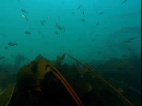 fish swim around kelp in the ocean. - kelp stock videos & royalty-free footage