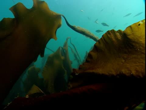 fish swim around kelp on the ocean floor. - kelp stock videos & royalty-free footage