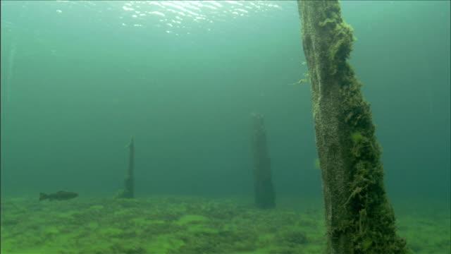 vídeos y material grabado en eventos de stock de fish swim around moss-covered tree trunks. available in hd - poste de madera