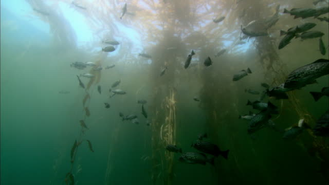 fish swim around underwater kelp forest - living organism stock videos & royalty-free footage