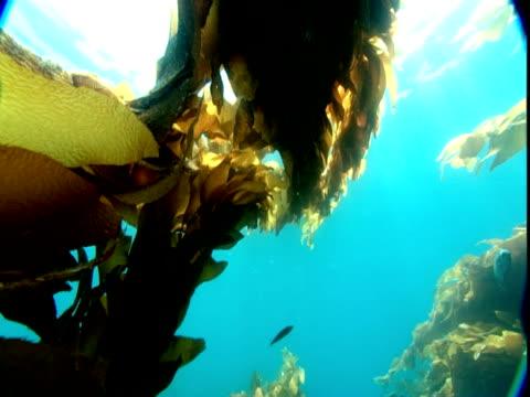 fish swim around waving stalks of seaweed. - kelp stock videos & royalty-free footage