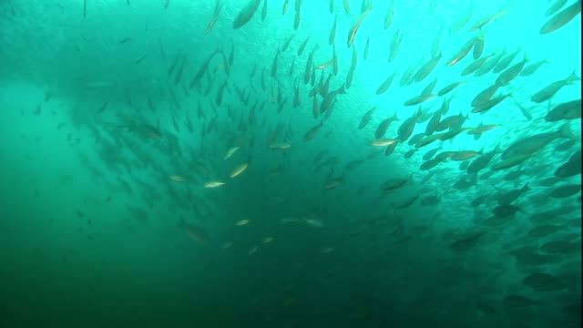fish swim into a baitball. - atlantic ocean stock videos & royalty-free footage