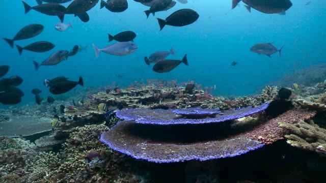 fish swim over coral reef, bali. - anthias fish stock videos & royalty-free footage