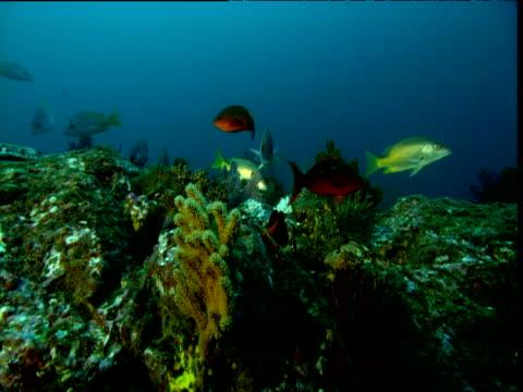 vídeos y material grabado en eventos de stock de fish swim over coral reef, panama - rascacio