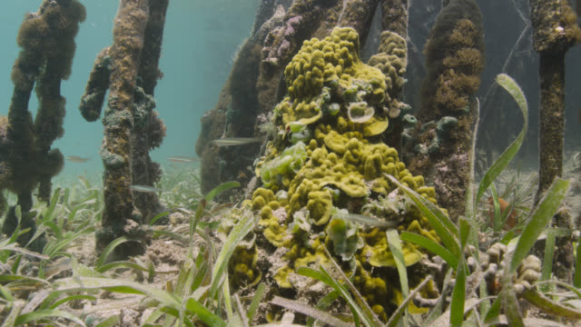 fish swim past coral in mangrove swamp, belize - sea grass plant stock videos & royalty-free footage