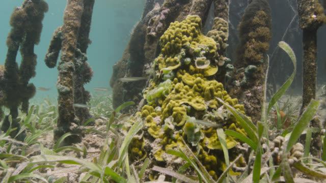 vídeos de stock e filmes b-roll de fish swim past coral in mangrove swamp, belize - erva marinha