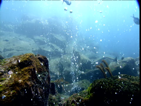 Fish swim through bubbles rising from seabed, New Zealand