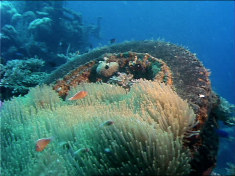 fish swim through coral growing on a tire at the site of a world war ii shipwreck. - ecosystem stock videos & royalty-free footage