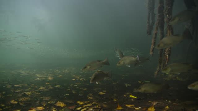 vidéos et rushes de fish swim through mangrove swamp, belize - sous l'eau