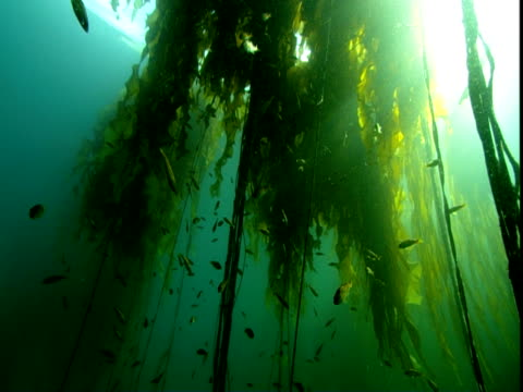 fish swim through seaweed as the sun shines down through the waters of the pacific ocean. - kelp stock videos & royalty-free footage