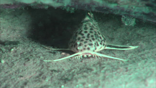 a fish swimming at the bottom of lake tanganyika, africa - rückenflosse stock-videos und b-roll-filmmaterial