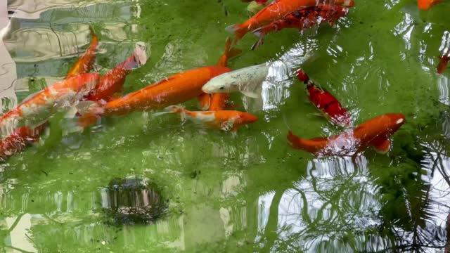 fish swimming in a lake - akvatisk organism bildbanksvideor och videomaterial från bakom kulisserna