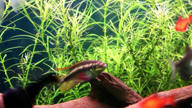 fish swimming in aquarium - freshwater fish stock videos & royalty-free footage