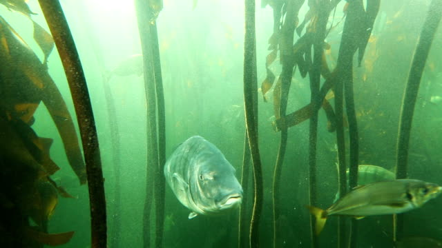 Fish swimming in kelp forest exhibit