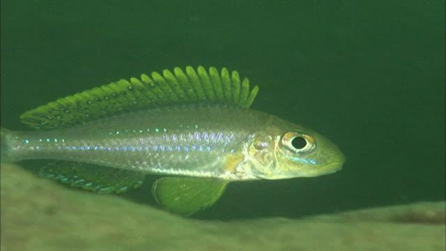 a fish swimming in lake tanganyika, africa - rückenflosse stock-videos und b-roll-filmmaterial